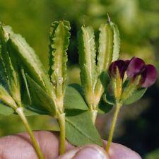 ASPARAGUS PEA-Winged Bean - 100 graines