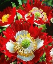 Poppy Danish Flag Afghan  200 Seeds  Garden Seeds 2u