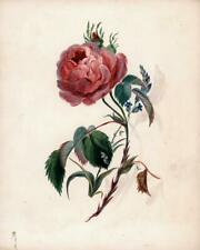 PINK ROSE STILL LIFE STUDY Victorian Watercolour Painting 19TH CENTURY BOTANICAL