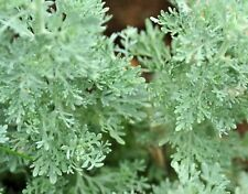 5000 Graines d'Absinthe Méthode BIO seeds fleurs vivace insectifuge ami potager