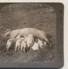 6 Little Piggies Nursing HC White Stereoview 1904