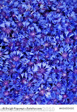Kornblume Centaurea cyanus 5000 Samen Großpackung