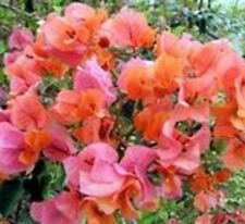 MRS LOUIS WATHEN Bougainvillea buttiana orange to rose-pink flowers plant 140mm