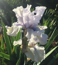 Tall Bearded Tb Iris Skyward Bound perennial Plant Rhizome