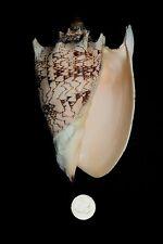 IMPERIAL VOLUTE seashell (C)