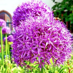 Allium Purple Sensation GIANT Spring Flowering Bulbs Guaranteed to grow!