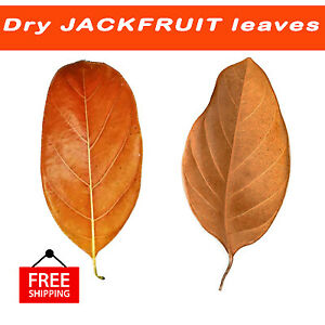 Dried Jack Fruit Leaves For Biofilms Aquarium Design 100% Organic Kataha Water
