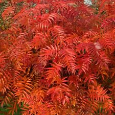 Sorbus Olympic Flame Tree 12 litre Pot British Grown