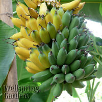 Musa 'Ice Cream' HARDY BANANA PLANT Tasty Fruit Tree LIVE PLANT Blue Java