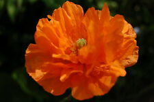 PAPAVER RUPIFRAGUM EXQUISITE DOUBLE ORANGE POPPY FLOWERS FOR MONTHS 100+ SEEDS