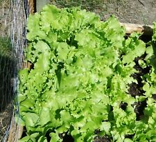 Leaf Lettuce, 50 Seeds, Organically Grown without Insecticides