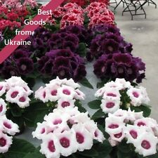 Gloxinia F1 Avanti seeds Mix Ukraine 5 seeds Глоксиния F1 Аванти S1243