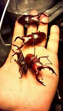 Stag beetle Spawning and Breeding substrate 1 Gallon pack-God's Hobby
