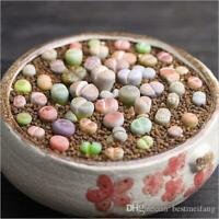 COLOR LITHOPS MIX succulent EXOTIC living stones desert rock seed plant 50 SEEDS