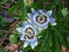 PASSION FLOWER SEEDS *****