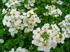 Rock Cress (Arabis Alpina Snow Peak) White- 100 Seeds