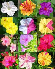 Four O'Clock flower Mix mirabilis jalapa caudex fragrant succulent seed 10 seeds