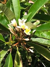 """New listing Plumeria 8""""-12"""" Fresh Cutting yellow and white Flower (Not-Rooted) three heads"""