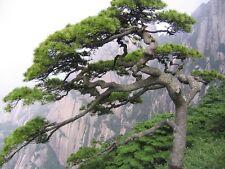 100 Chinese Red Pine Tree Seeds - Pinus tabulaeformis Bonsai USA - BKSeeds
