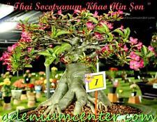 "ADENIUM DESERT ROSE THAI SOCOTRANUM "" KHAO HIN SON "" 10 Seeds FRESH NEW RARE"