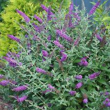 25+ Butterfly Bush Violet Flower Seeds / Perennial/ Deer Resistant / Hardy