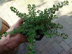 Cotoneaster dammeri Cooper 1 St. Zwergmispel Bodendecker Krichmispel immergrün