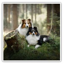 2 x Square Stickers 10 cm - Sheltie Dog Couple Collie Dogs Cool Gift #16864