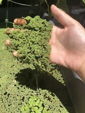 1 Cup of Live Organic Azolla/Fairy moss-Free Shipping!