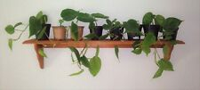 BIG Green Heart Leaf Philodendron Cuttings Rooted House Plant / Indoor Plant