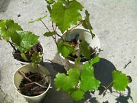 2 grape vines Carlos or Black Noble Muscadine grape, great for eating and wine