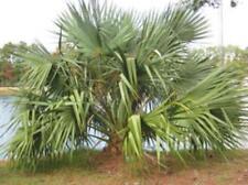 15 x Sabal mexicana palm tree seeds