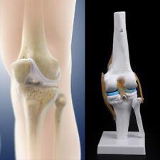 Human Anatomical Knee Joint Skeleton Model Flexible Aid Anatomy Medical Learning
