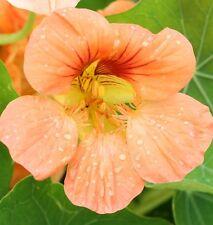 30 Graines de Capucine TROPAEOLUM SALMON BABY / Fleur ORANGE