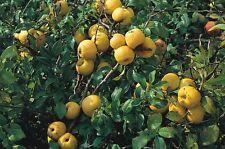 Japanese/Dwarf Quince - Chaenomeles Japonica -25 seeds - Fruiting Shrub - Bonsai