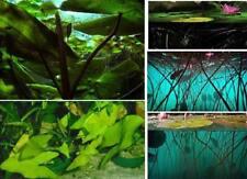 Die Attraktion des Teiches: Blaue Seerose  winterhart wirksames Antialgenmittel