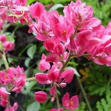 Antigonon leptopus MEXICAN CORAL VINE, LOVE VINE Exotic Easy Long Bloom ~SEEDS~