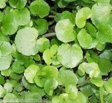 WATERCRESS Nasturtium officinale 6000 SEEDS BULK Defra certified seeds