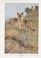 1910 Natural History Doble Costado Estampado ~ Wolf / Fox