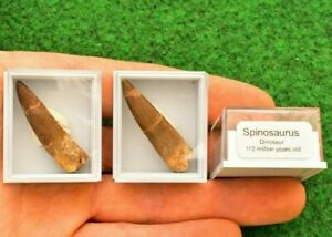 1 Spinosaurus Dinosaurs & Reptiles Tooth Boxed Fossil Morocco Cretaceous UKBUY S