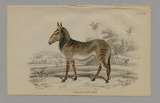 HYBRID OF ASS & ZEBRA HAND-COLORED PRINT JARDINE NATURALISTS LIBRARY  1875