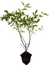 2 x Sibirische Blaubeere Pflanze Honigbeere Kamtschatka-Beere süße Beeren im Mai