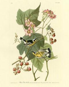 John Audubon Print - Black Yellow Warbler