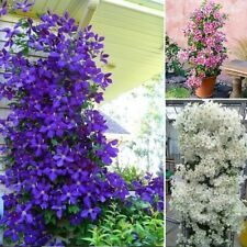 100 PCS Blue Clematis Seeds Creeping Plants Perennial Flowers Best For Garden