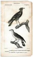 1816 Turpin Eagles Aigles Cymindis Copper Engraving Antique Bird Zoology Print