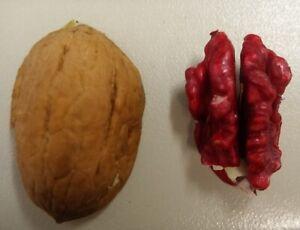 Walnussbaum `Rote Donaunuss´, Rarität, rote Kerne, 150-175cm im 10L-Topf