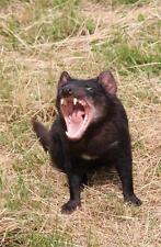 Tasmanian Devil Glossy Poster Picture Photo taz carnivore marsupial scream 1813