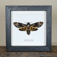 Deaths Head Hawk Moth in Box Frame (Acherontia lachesis) Insect Taxidermy