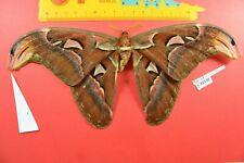 A33198 # butterfly Sphingidae Saturniidae Noctuidae Arctiidae Vietnam