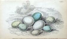 EGGS, WOODPECKER,WAGTAIL,SHRIKE,HOOPOE Jardine hand col antique bird print 1838