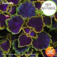 Coleus Bonsai Coleus Seeds Plants Blumei Rainbow Color Flower Rare Mix 100pcs